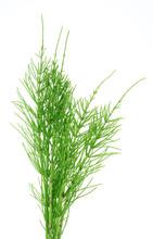 Herb Horsetail