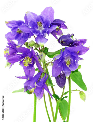 Fotografiet bunch of blue columbine - aquilegia flowers isolated on white