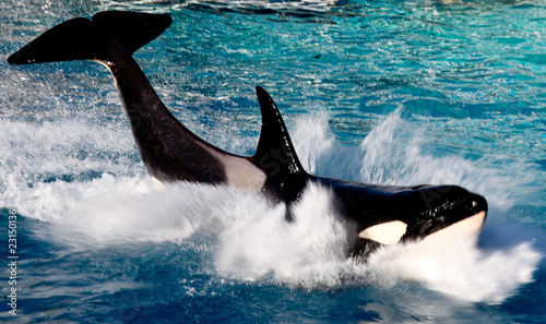 Fotografie, Obraz  Killer whale portrait