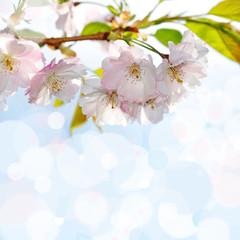 Naklejkasakura blossom and bokeh