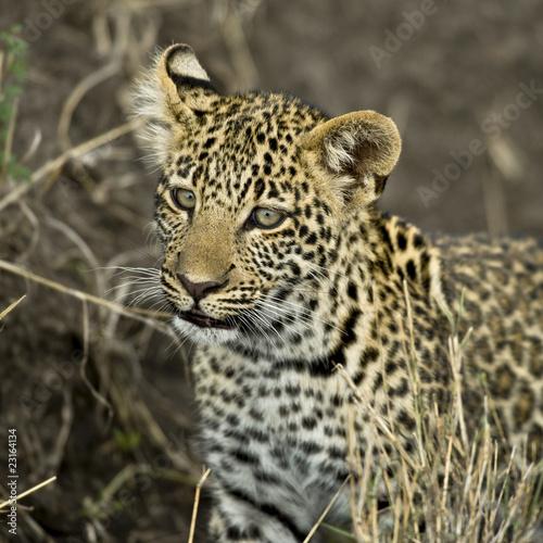 Poster Leopard Close-up of a leopard, Serengeti National Park, Serengeti