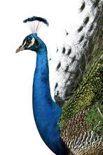 Profile Of Male Indian Peafowl...