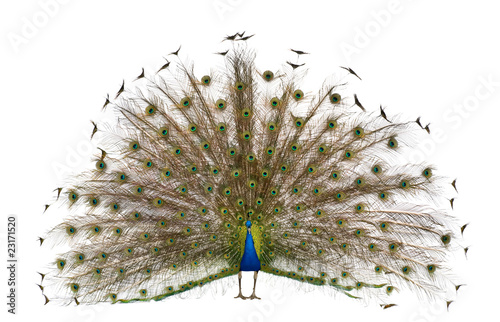 Deurstickers Pauw Front view of Male Indian Peafowl displaying tail feathers
