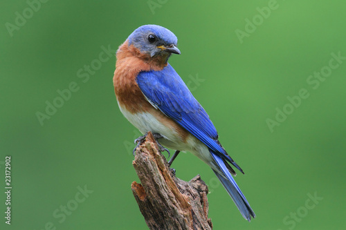Photo Stands Bird Bluebird On A Stump