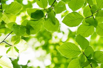 Panel Szklany Podświetlane Drzewa beech