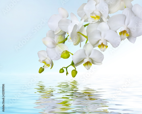 Fototapety, obrazy: White orchids reflecting in water