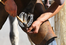 Farrier Attaches Horseshoe To ...