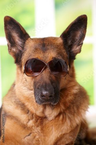 Dog with sunglasses © Monika Wisniewska