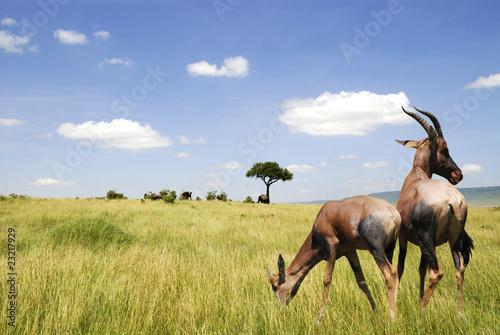 Poster Antelope Antilope nel parco Masai Mara