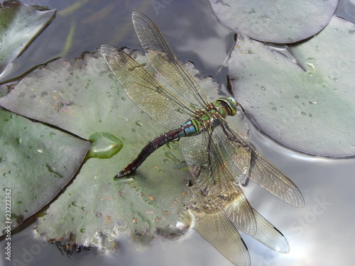 Fotografie, Obraz  libellule ponte oeufs sur nénuphar dragonfly