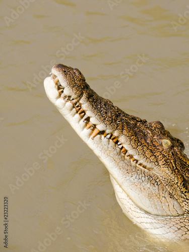 Photo  Saltwater Crocodile (crocodylus porosus) Australia