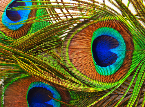 Foto op Plexiglas Pauw Bright feathers of a peacock close up