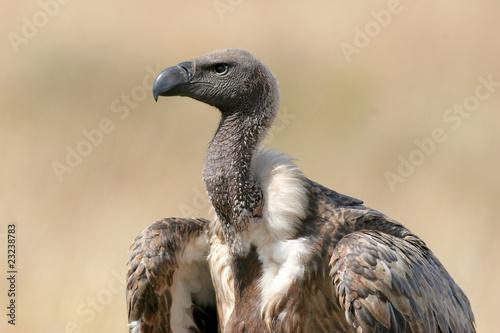 Whitebacked Vulture, Gyps africanus Canvas Print