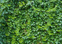 Climbing Ivy Background.