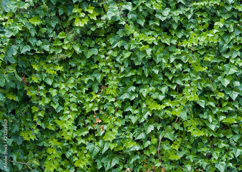 Climbing ivy background. Canvas