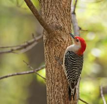 Red-bellied Woodpecker, Melane...