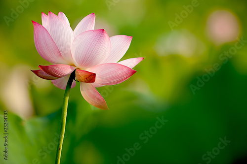 Foto op Canvas Lotusbloem Pink Lotus with nice green background
