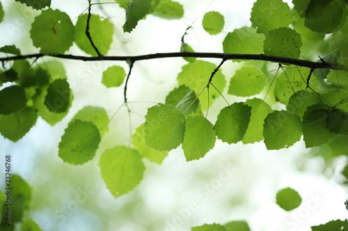 Plakaty rośliny zielone-liscie-brzozy