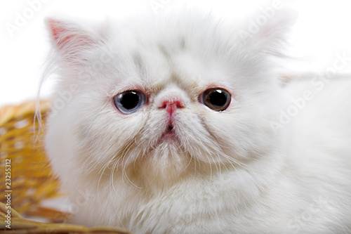 white persian cat - Buy this stock photo and explore similar images