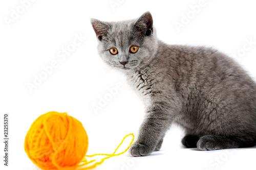 Poster Jaune British kitten