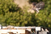 Cooper's Hawk Attacks Squirrel