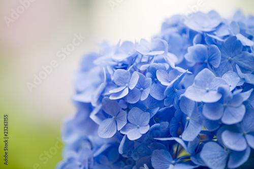 Foto op Canvas Hydrangea ブルーのアジサイ