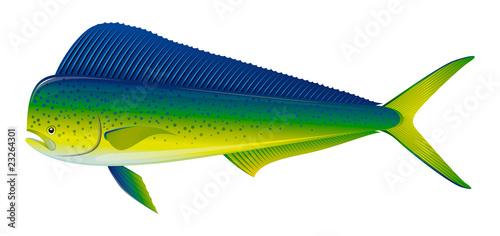 Fotografie, Obraz Dorado fish