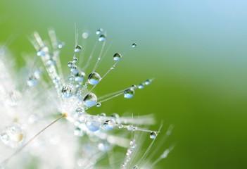 fototapeta nasion mniszek krople wody