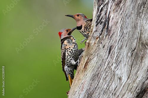 Sticker - Woodpeckers building a nest