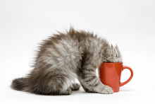 Young Cat Plays With A Cup