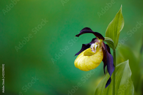 Montage in der Fensternische Orchideen lady's-slipper orchid, Cypripedium calceolus 05