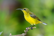 Female Sunbird On A Perch