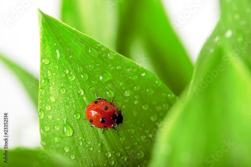 ladybird-siedzi-na-lisciu-z-kropli-wody