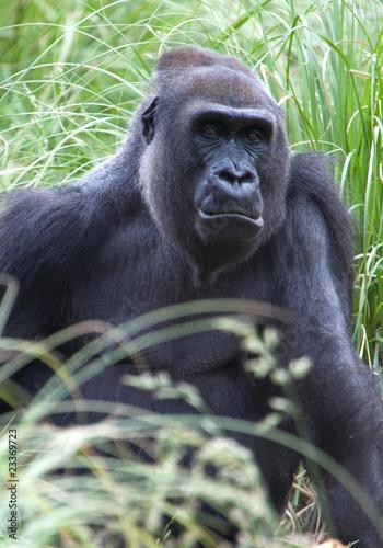 Western Lowland Gorilla 02 Canvas Print