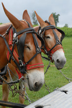 Mules Hitched  Up To Pull Carriage