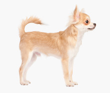 Posing The Young Chihuahua Dog...