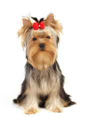 The Yorkshire Terrier isolated on white
