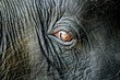 Closeup of a baby elephant's brown eye with long eyelashes and wrinkly gray skin.