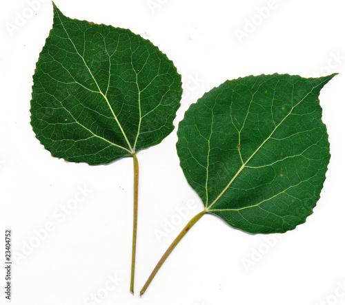 Fotografia Quaking ASpen leaves