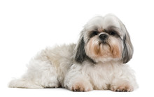 Shih Tzu, 8 Years Old, In Fron...