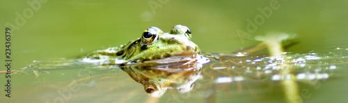 Foto auf Leinwand Frosch Frosch