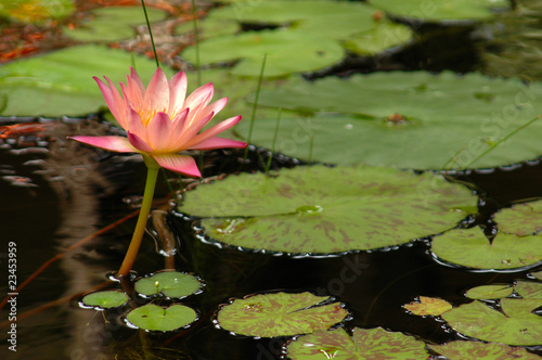 Foto  Pink Water Lily (Nymphaea alba) Surrounded by Lily Pads