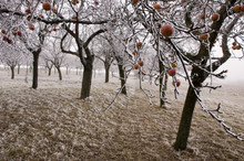 Bio Apples Left On The Trees