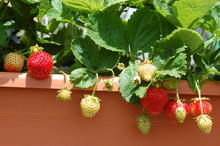 Growing Strawberries On Balcony