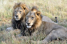 Two Male Lions Together, A Rare View