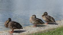 Three Ducks On The Water Edge