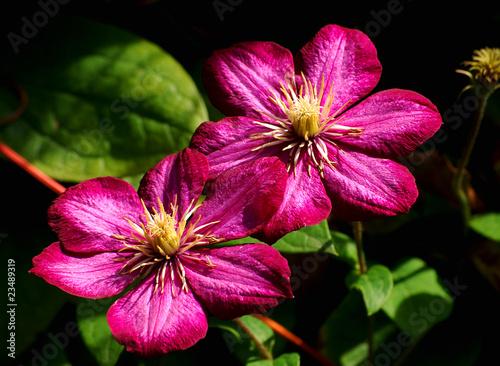 Makro zweier rubinrote Clematis - Blüten mit dunklem Hintergrund @p(AS)ob