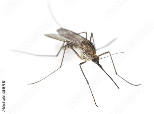 Fotografie, Obraz  Mosquito isolated on white.