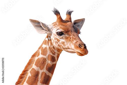 Girafe Détourage de la tête d'une jeune girafe