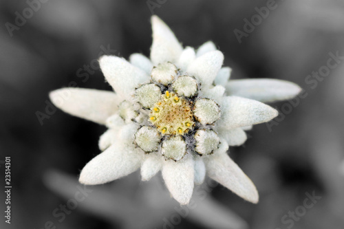 Photo  Edelweiss (Leontopodium alpinum)